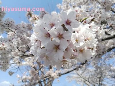nova liteのカメラで桜を接写